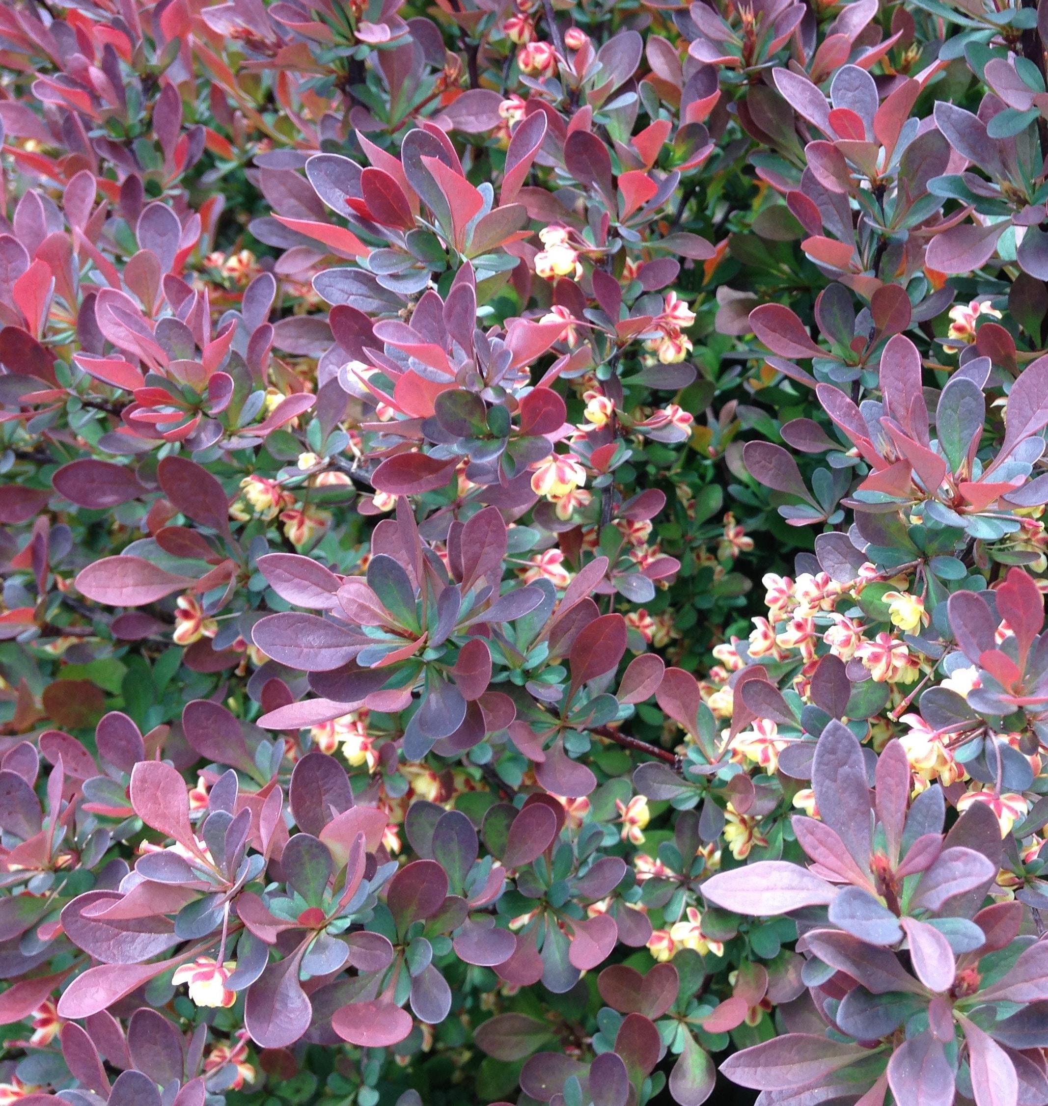 TMBuilders-Landscaping-Garden-Smoketree